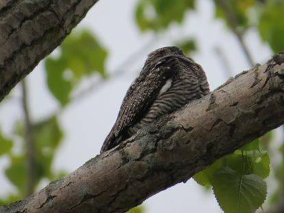 A Nightjar, also known as a Common Nighthawk, takes an afternoon snooze.