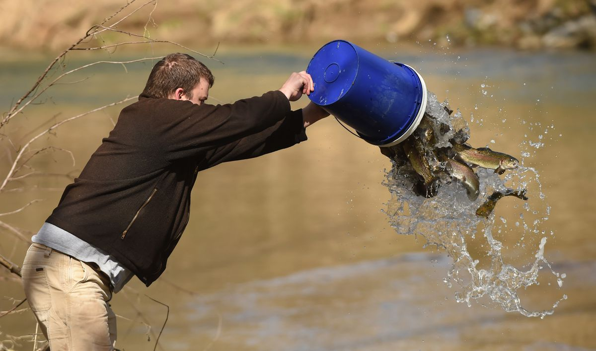 Trout stocking at South Branch Patapsco River - Carroll
