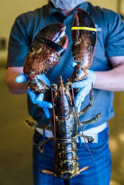 Ten Oaks Tavern in Glenelg is hosting a contest on Monday in celebration of National Lobster Day. Owner Matt Best purchased a large lobster, weighing between 6 and 10 pounds, and plans to post a picture on social media and the restaurant's website for customers to guess the weight.