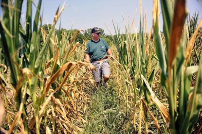 John Draper has 200 acres in feed corn and estimates he has lost about 40 percent of the crop because of the drought.