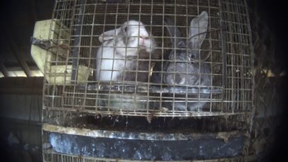 Rabbits in a barn at Wagner Farm in Centreville, Md. The farm supplies rabbits to Petland in Fairfax, Va., where at least 14 dead rabbits were found in freezers during an undercover investigation by the Humane Society.
