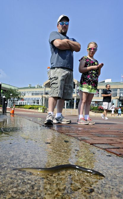 Mark Wojkiewicz, of Green Bay, Wis., and daughter Alyssa, 11, watch a live eel that washed up onto the Inner Harbor sidewalk.