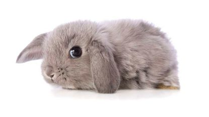 Rabbits come in sizes ranging from dwarf to giant and in a variety of colors, fur textures and ear types. When raised under ideal conditions, the life expectancy of a house rabbit is between 8-10 years (16 maximum).