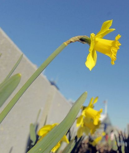 A daffodil reaches for the sky on a warm afternoon at Harborplace in Baltimore.