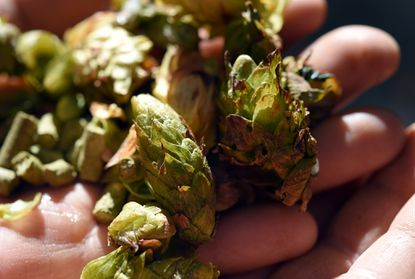 """Detail of some of the types of hops that are grown on the farm. Che' Carton and his wife, Lisa, own Black Locust Hops which is a farm that grows hops for various types of beer. Now they want to expand and start brewing beer themselves, opening what's called a """"farm brewery."""""""