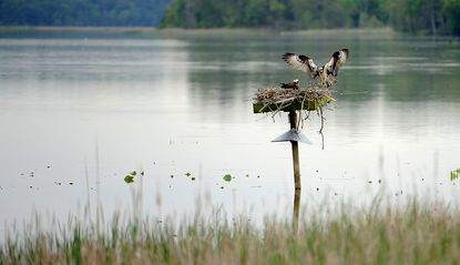 An osprey flies from a platform as another remains on the nest in this 2017 file photo from the Jug Bay Wetlands Sanctuary, located in Anne Arundel and Prince George's counties.