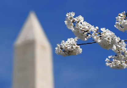 The Washington Monument is seen through cherry blossoms on March 29, 2011 in Washington, D.C.