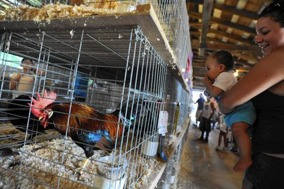 Randhi Asbury of Columbia holds her 7-month-old son Jeremiah closer for a better look at a rooster in the poultry barn at the 70th annual Howard County Fair in West Friendship on Thursday, Aug. 13.