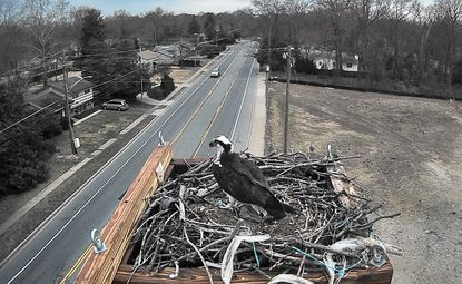 Viewers can listen in and get a birds eye view of the two ospreys on a new platform in Severna Park. The project was organized by a Severna Park husband and wife, Mark and Heather Jeweler, who had admired the nesting pair for years.