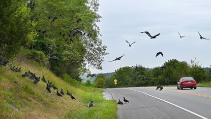 A wake of Black Vultures was spotted near a dear carcass, causing a lot of attention from passing vehicles on east-bound Rt.31 between Rt. 140 and New Windsor.