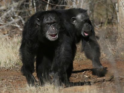 Two chimps at Chimp Haven in Louisiana. Fifty soon-to-be-retired research chimpanzees from the National Institutes of Health will be joining them, Dr. Francis Collins announced.