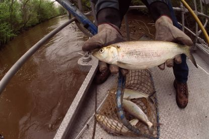 New move to save historic shad