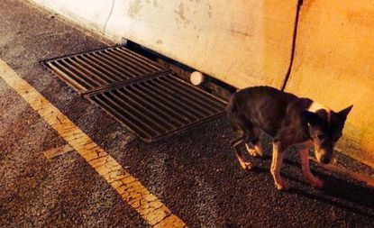 A puppy cowers on Interstate 83 early Tuesday before being rescued by Baltimore Police officers.