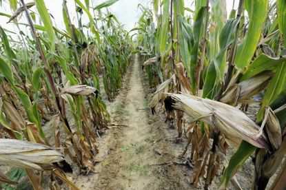 Field corn awaiting harvest. Farmers who agree to unspecified pollution control measures on their farms under a bill pending in Annapolis could win a 10-year reprieve from any new Chesaepake Bay cleanup requirements.