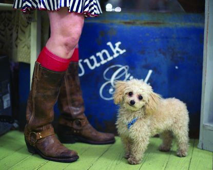 """Toy poodle Osiris (""""Si"""") often accompanies his owner, Kelli Myers, to work at A Journey from Junk, a shop on Main Street in Historic Ellicott City."""