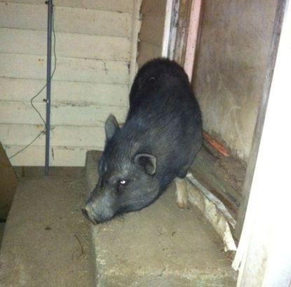 Pig at the door.