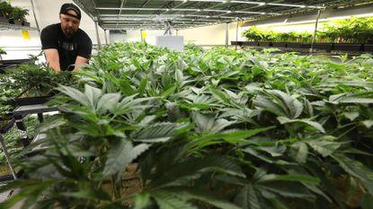 Rob Jenkins cultivates marijuana at Dark Heart Nursery in Oakland, Calif.