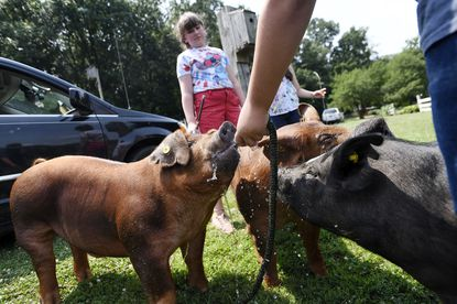 Caleb Chamelin, 13, gives water to Sherman, a duroc that he will show in the Carroll County 4-H & FFA Fair as his sister Charlotte, 11, looks on Thursday, July 15, 2021. Chamelin and his siblings belong to Carrollton 4-H and raise pigs and goats at their family's Lineboro home.