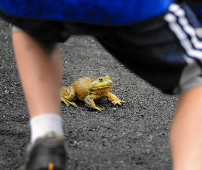 The frog-jumping competition will no longer be part of the Town of Bel Air's July 4th activities.
