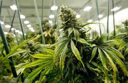 Maryland has legal medical cannabis, but if the state legalizes recreational marijuana, a new report suggests estimating tax revenues could be difficult. A marijuana plant is pictured at Grassroots Cannabis in Taneytown in a 2018 file photo.