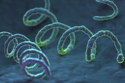 Treponema pallidum, the bacterium responsible for the dangerous sexually transmitted infection syphilis.