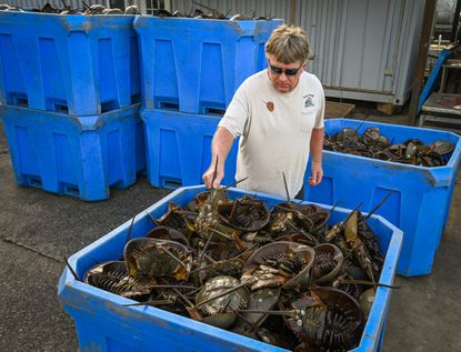 Commercial fisherman George Topping stands next to bins of horseshoe crabs waiting to be returned to an area off the coast of Ocean City where they had been caught the previous day. The horseshoe crabs had blood drawn to be used in ensuring the safety of vaccines including a future coronavirus vaccine. (Baltimore Sun/Jerry Jackson).