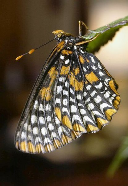 A Baltimore Checkerspot hangs on the leaf of a turtlehead plant in the Washington home of Pat Durkin.