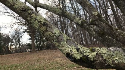 Lichen won't harm the tree but could be sign of a bigger problem