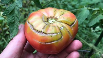 Weeks of rain have caused local tomatoes to split. Bad for some tomatoes - good for those brave souls who make homemade ketchup.