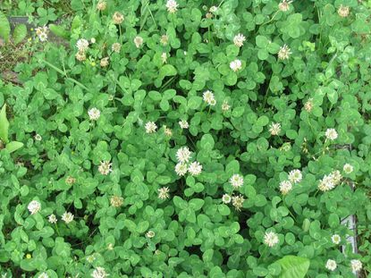 Clover is difficult to control and actually good for soils. - Original Credit: For The Baltimore Sun
