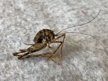 Camel crickets can find their way indoors and multiply. They prefer damp, dark areas like basements and crawl spaces. - Original Credit: For The Baltimore Sun