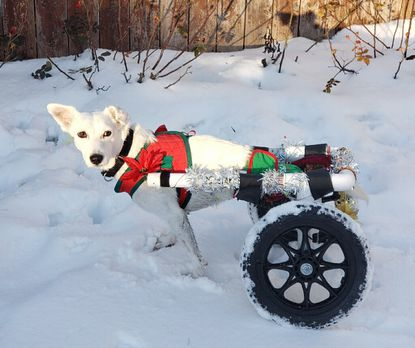 """Union Bridge resident Jill Trail adopted rescue dog Pihu, an Indian pariah who is a double amputee that uses a wheelchair and now the star of Trail's news children's book, """"Pihu Makes a Friend: The Desi Trail."""""""
