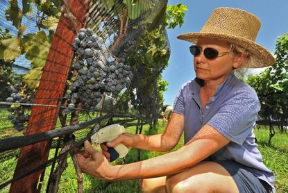 Polly Pittman fastens netting around the grapes to protect them from birds at the Dodon farm.