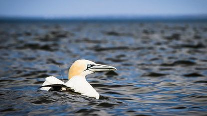 Bird-tracking study reveals some migration paths cross areas slated for offshore wind farms