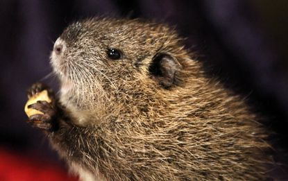 The California Department of Fish and Wildlife said Thursday, Feb. 8, 2018, it is trying to eradicate nutria, a type of invasive rodent, from the state because once established, could cause loss of wetlands, damage to agricultural crops and levees, dikes and roadbeds.