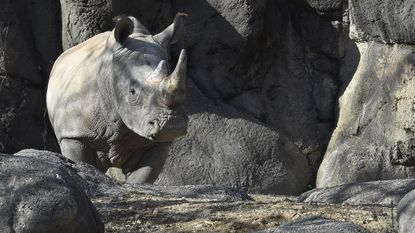 Jaharo, the Maryland Zoo in Baltimore's 6-year-old male white rhino, has died.