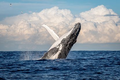 Humpback whales eat both krill and anchovies, depending on what's available. Krill tend to thrive in deeper and colder waters -- and well up with the typical currents along the California coast.