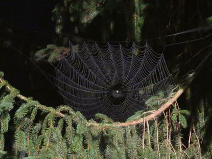 An orb weaver spider waits in his beautifully symmetrical lair for his evening dinner.