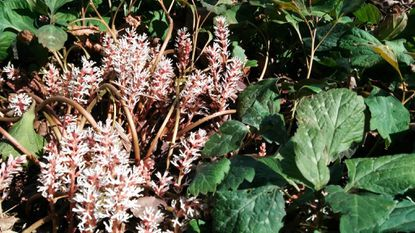 Allegheny pachysandra, for example, is a four season actor in the garden with quirky spring flowers and attractive mottled leaves that deer don't touch.