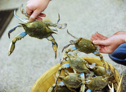 Jesse Lowers, of Lowers Crab Shack in Essex, shows a large and small Maryland blue crab that he received today in a small shipment. Jesse said the temperatures are still a bit cold for a good harvest, but the summer holds great promise.