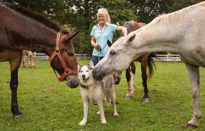 Burleigh Manor Animal Sanctuary founder Lisa Davis stands behind Bruno, her Siberian husky, as he is greeted by Moose Mule, left, and Amir. Bruno gets along wonderfully with all the different animals at the sanctuary, according to Davis.