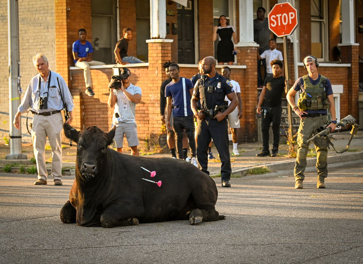 'We regularly train for this': Behind the scenes of Baltimore's latest bull escape