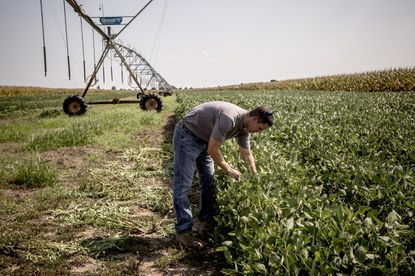 A farmer looks at rows of soybean plats that show signs of having been affected by Dicamba use. He estimates that the chemical had to travel about two miles to reach his crops.