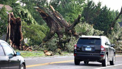 A large Southern red oak tree, a local landmark, taken down by a storm early Monday lies along Romancoke Road in Stevensville, MD.