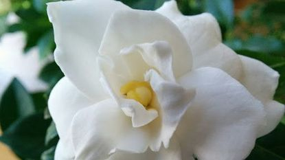 When to repot a budding gardenia and when not to use insecticides