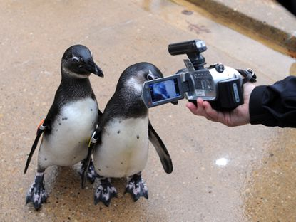 Two inquisitive African penguins examine a reporter's video camera on their Rock Island habitat at the Maryland Zoo.