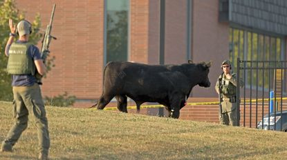 Baltimore Police tactical team members keep an eye on an escaped Angus breeding bull after it was shot with a tranquilizer dart in a field at Coppin State University.