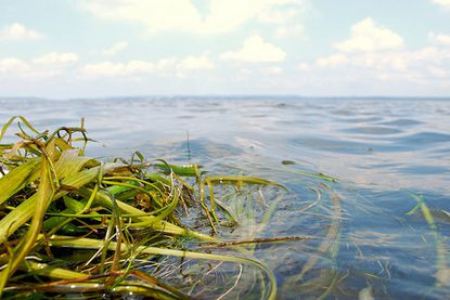 Bay grasses on the Susquehanna Flats have seen a resurgence, as have other aquatic vegetation around the Chesapeake.