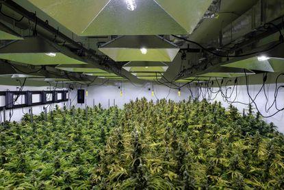 The canopy of a marijuana crop is seen at Alternative Solutions, a medical marijuana producer in Washington, D.C.