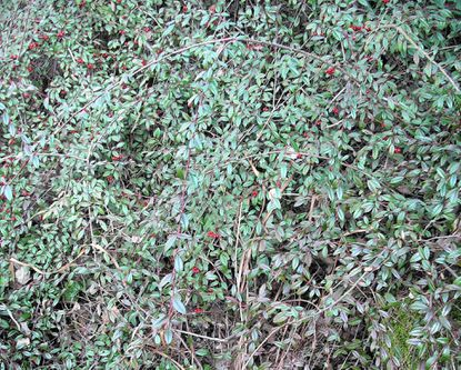 Plant of the week: Willowleaf cotoneaster is an easy ground-covering shrub that is pest-resistant and fast-growing.